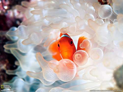 Clownfish and Bubble Tipped Anemone 500x375 image