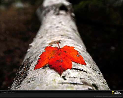 Fallen Maple Leaf 500x400 image