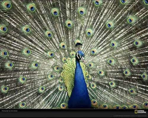 Peacock Courtship 500x400 image