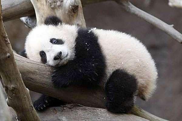 40 Baby Panda Photos : Freakify.com - photo#26