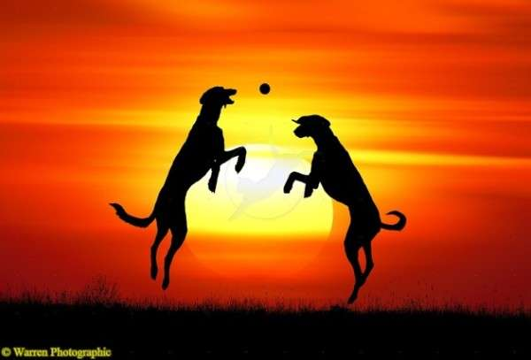 Saluki Lurchers leaping to catch a ball at sunset