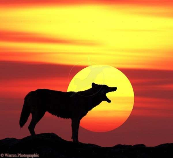 Grey Wolf (Canis lupus) howling at sunset