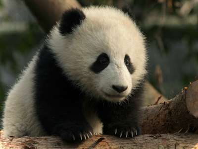 40 Baby Panda Photos Freakify Com