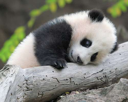 40 Baby Panda Photos : Freakify.com - photo#25