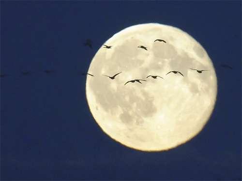 Bird flying cool moon wallpaper