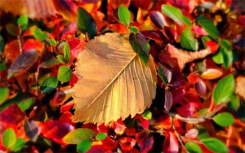 autumn leaf_17548 Wallpaper