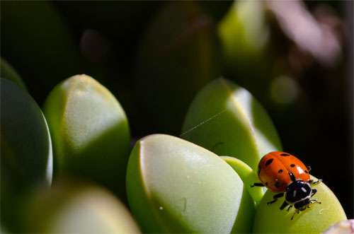 Ladybug on Succulents wallpaper