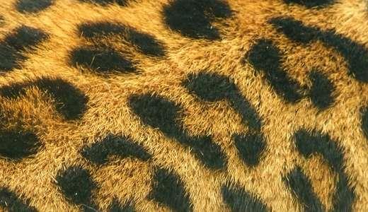 True fur leopard skin texture free download hi res high resolution